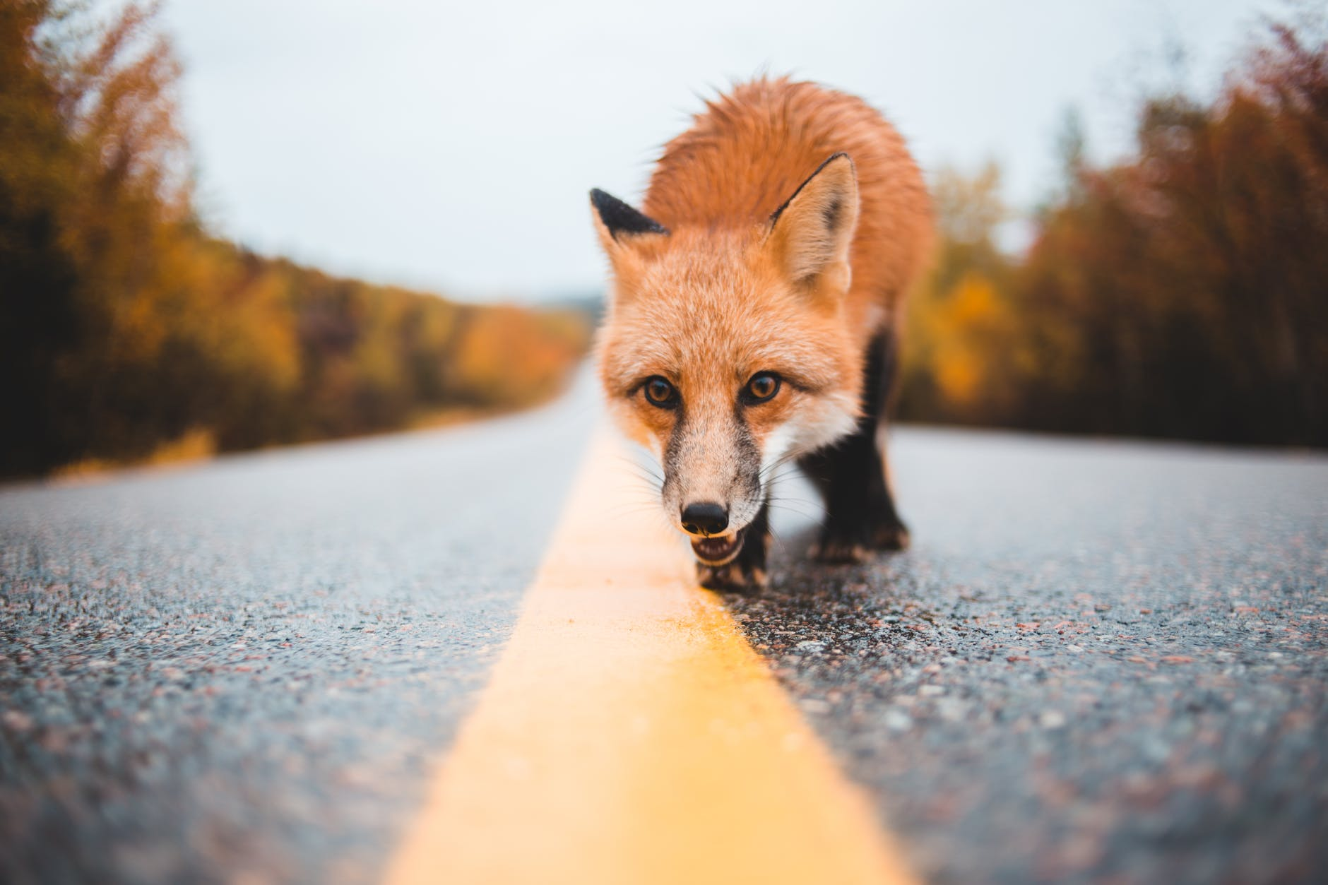 March of the Fox